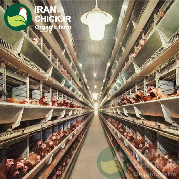 کاهش طول روز و قطع تخمگذاری مرغ
